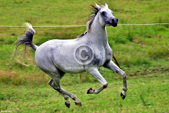 Arabian Mare Galloping