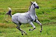 Arabian Mare Galloping