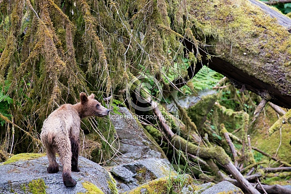 Grizzly bear cub walking on some rocks