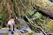 Grizzly bear cub walking on some rocks