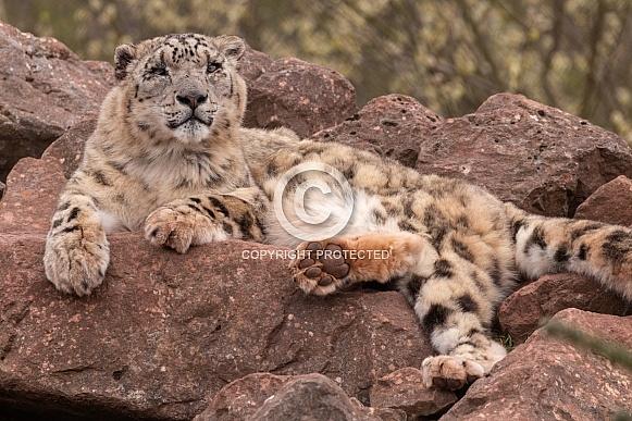 Snow Leopard Lying On Rocks Head Up