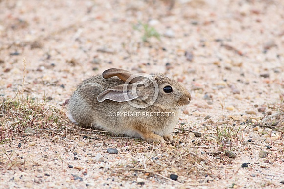 Desert Cottontail Rabbit