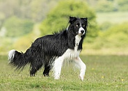 Standing Border Collie