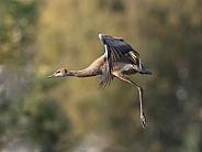 Lesser Sandhill Crane in Flight