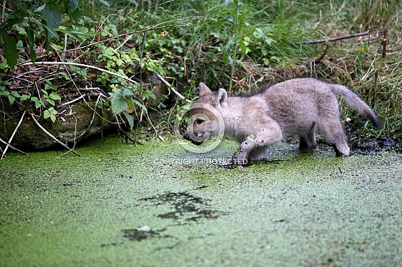 Hudson Bay Wolf pup (Canis lupus hudsonicus)