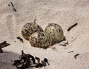 African Black Oystercatcher Eggs