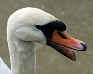 mute swan hissing