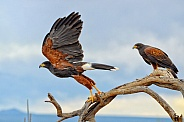 Harris Hawk Duo