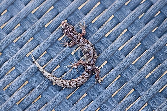 Southern Velvet Gecko