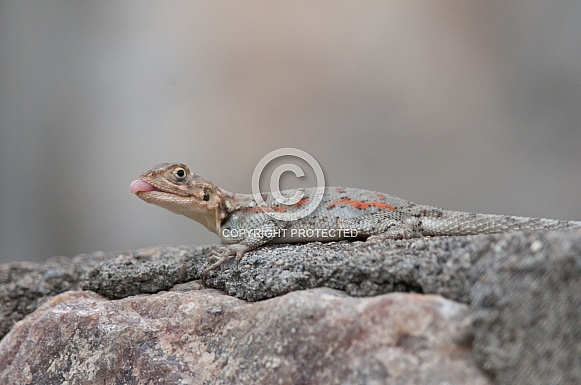 Red-headed Rock Agama