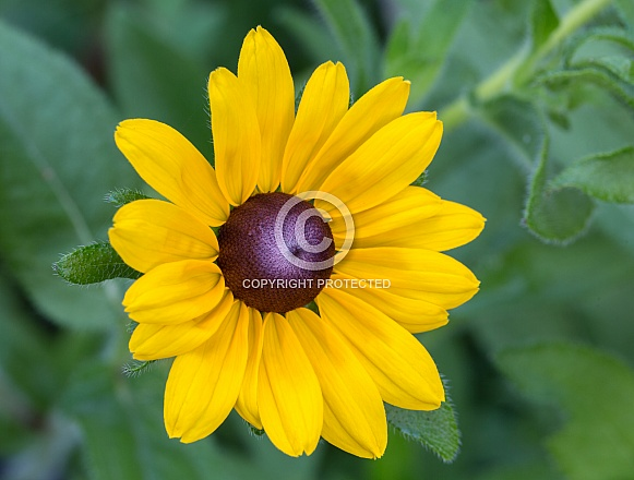 Black-eyed Susan Portrait
