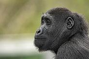 Young Gorilla Side Profile