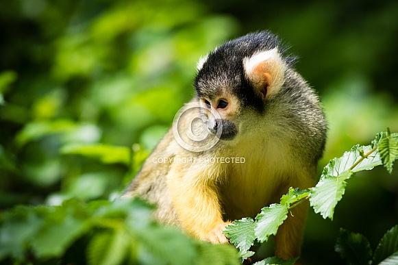 Squirrel monkey close-up