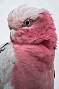 The Galah Cockatoo