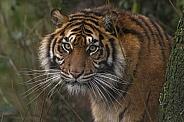 Sumatran Tiger Hiding Behind A Tree
