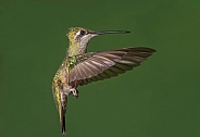 Female Rivoli's or Magnificent Hummingbird