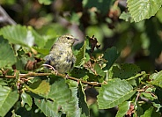 Juvenile Orange-crowned Warbler
