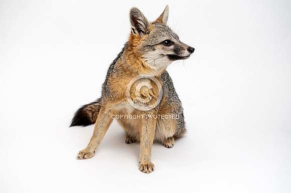 Gray Fox on Isolated on White
