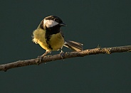 Great Tit in Evening Light