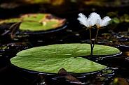 Snowflake lilies