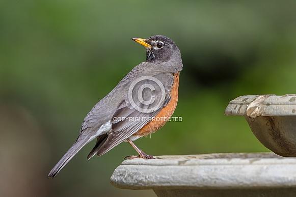 American Robin in Alaska