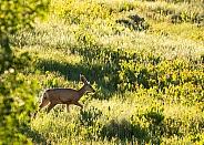Mule deer, Cervidae, Odocoileus hemionus