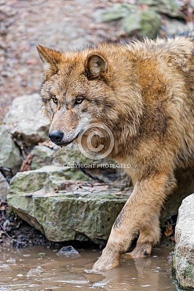 Grey Wolf, Water.