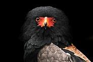Bateleur Eagle Close Up Front On