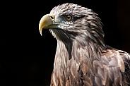 White Tailed Fish Eagle, Close Up