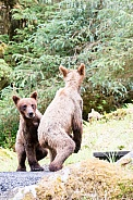 Two wild bear cubs paying