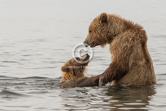 Brown Bear and Young