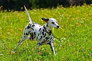 Dalmatian Playing
