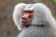 Mantle baboon