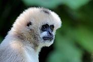 Northern white-cheeked gibbon (Nomascus leucogenys)