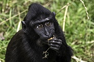 Baby Sulawesi Crested Macaque