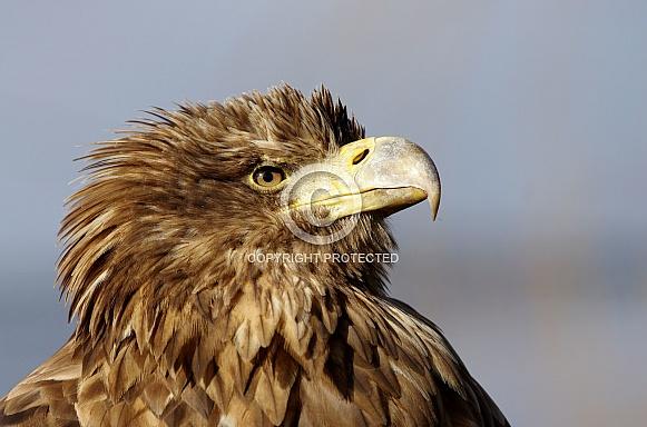 White-tailed Eagle 2