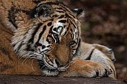 Close Up of Amur Tiger