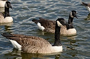 Canadian Geese - Canada Geese