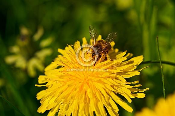 Bee on a Dandilion
