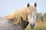Young Camargue Horse