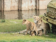 African Lion Mom with cubs