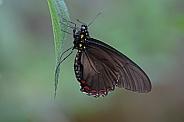 Cattleheart buterfly