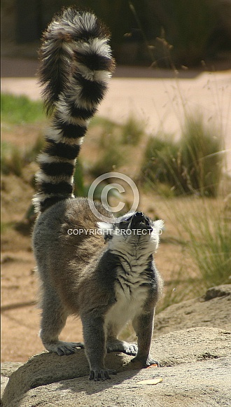Lemur looking up
