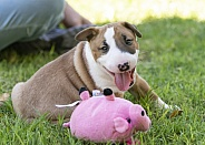 Smiling red bull terrier puppy