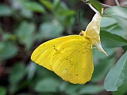Cloudless giant sulpher (Phoebis sennae)