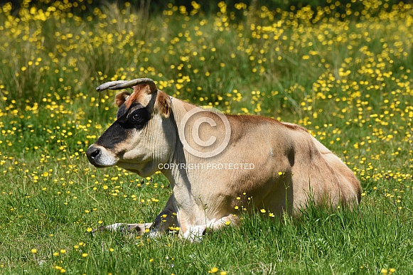 Cow in a Field of Buttercups