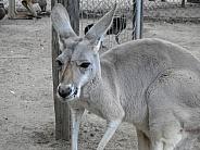 Australian Kangaroo