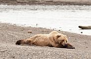 Brown Bear sleeping on a beach
