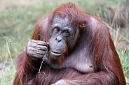 Female orangutan portrait