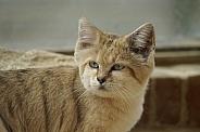 African Sandcat
